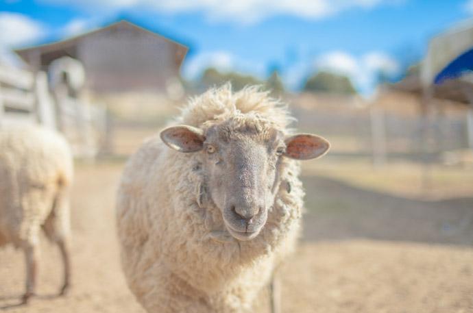 動物の血液型特集8.羊の血液型
