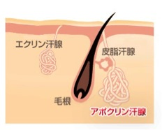 アポクリン汗腺