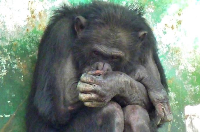 動物の血液型特集4.チンパンジーの血液型